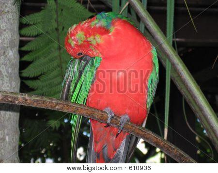 Australian King Parrot  Male 04