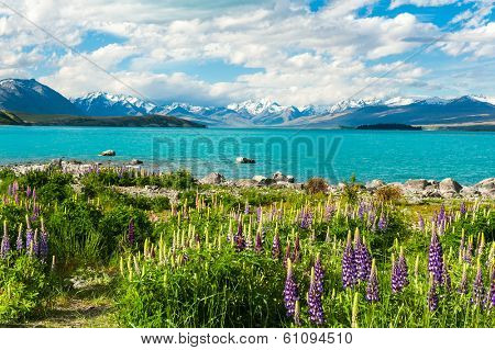 Beautiful incredibly blue lake Tekapo with blooming lupins on the shore and mountains, Southern Alps, on the other side. New Zealand