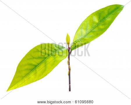 Branch Fresh Bay Laurel Leaves On The White Background