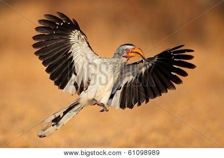 Yellow-billed hornbill (Tockus flavirostris) landing with open wings, South Africa
