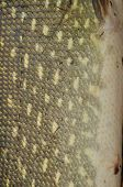 foto of fish skin  - Skin of a fish with scales - JPG