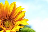 pic of orange blossom  - Sunflower - JPG