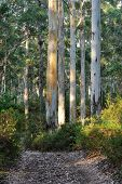 stock photo of eucalyptus trees  - track deviating around group of large Karri trees - JPG