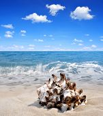 foto of conch  - Conch shell on beach - JPG