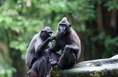 foto of macaque  - A pair of celebes crested macaques  - JPG