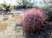stock photo of anza  - A young pink-spined Barrel Cactus in the Anza-Borrego Desert