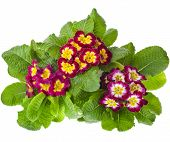 blooming primrose primula polyanthus in flowerpot isolated on white