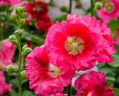 image of hollyhock  - Close Up Of Red Hollyhock Flower In Bloom - JPG