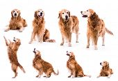 photo collage golden retriever in the studio isolated on white background