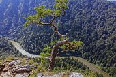 image of pieniny  - single pine growing from the rock above a spectacular gorge with a river below in pieniny mountains poland stylized and filtered to look like an oil painting - JPG