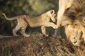 stock photo of cabs  - Male lion and a playful cab South Africa - JPG
