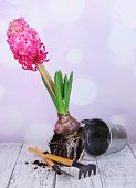Pink hyacinth with bucket and garden tools on table on bright background
