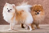 pic of pomeranian  - Portrait two Pomeranian dog on a abstract background