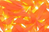 stock photo of begonias  - Fresh orange begonia flower petals as background