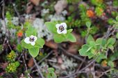 foto of laplander  - Dwarf Cornel white flowers of Lapland close - JPG
