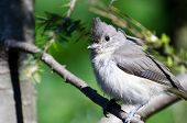 Young Tufted Titmouse Perched On A Branch