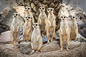 image of meerkats  - Portrait of meerkat on the rock with nature frame - JPG
