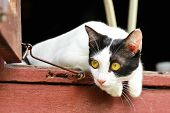 image of bengal cat  - Black and White Thai Cat in Thailand - JPG