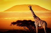 Giraffe on savanna landscape background and Mount Kilimanjaro at sunset