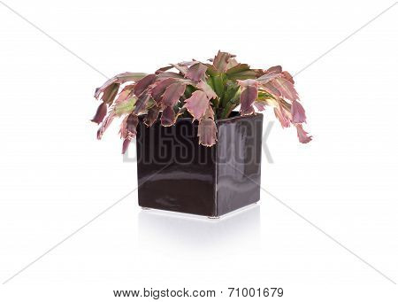 Red Cactus In A Black Pot