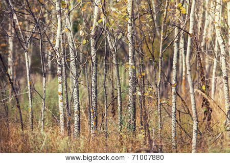 Aspens Trunks In The Autumn Forest