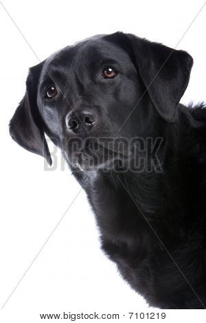 black labrador retriever dog