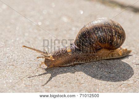Closeup Of Snail On Stone