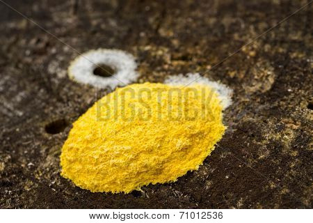Yellow Fungus On Tree Stump