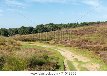 Path Through Dutch Heathland