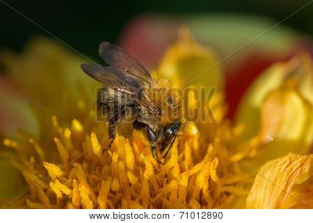 Leafcutter Bee On Yellow And Red Flower