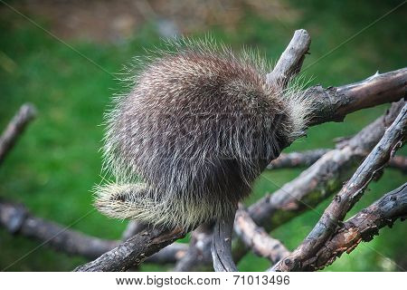North American Porcupine sleeping on the tree