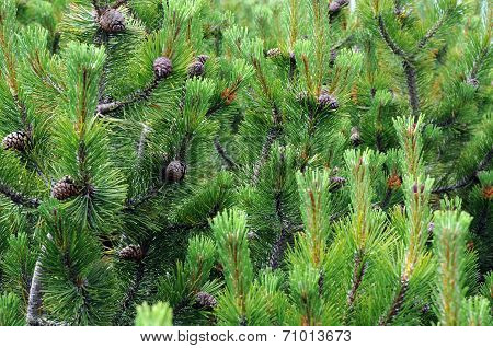 Fir Boughs And Cones