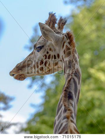 Portrait Of A Funny Giraffe