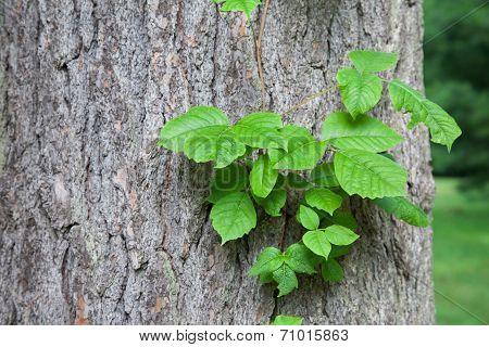 Poison Ivy Vine