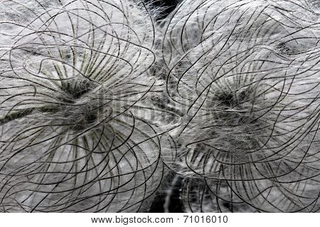 two clematis seed heads