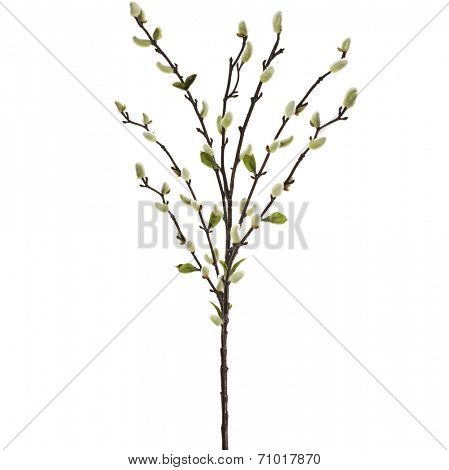 Catkins WillowTree isolated on white background