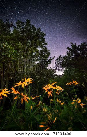 Black Eyed Susans Under The Stars