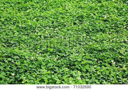 Green Clover On The Lawn