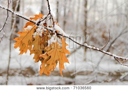 Autumn leafs under snow