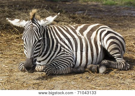 Zebra Sleeping On The Field