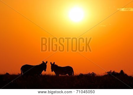 Two mountain Zebras (Equus zebra) silhouetted against a red sunrise, South Africa