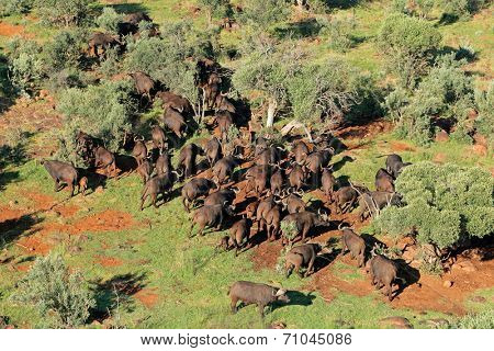 Aerial view of  a herd of  African or Cape buffaloes (Syncerus caffer), South Africa