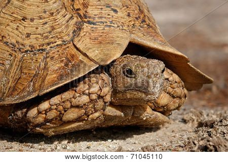 Close-up portrait of leopard or mountain tortoise (Stigmochelys pardalis), South Africa