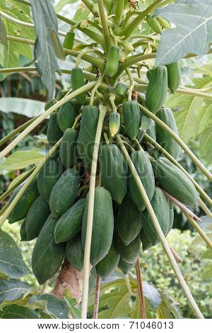Papaya Tree With Bunch Of Fruits