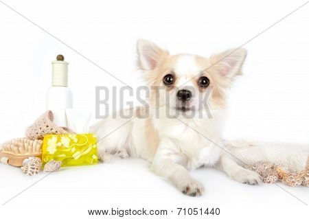 Beautiful chihuahua dog with spa accessories