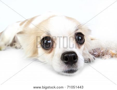 Incredible chihuahua eyes close-up