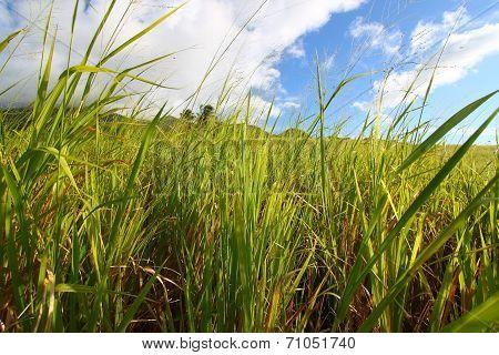Sugar Cane Field Saint Kitts