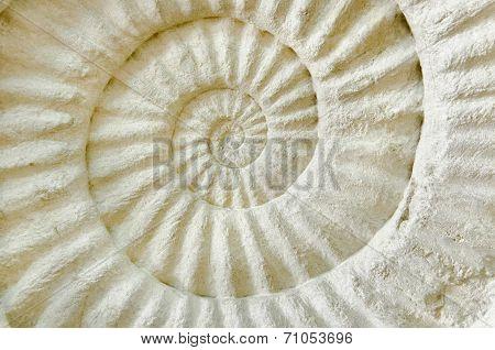 Ammonite Prehistoric Fossil.