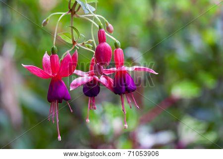 Pink and purple fuschia