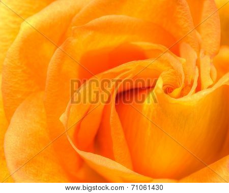 Bright convolute petal of lovely orange rose